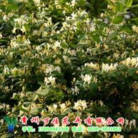 供应金银木,供应绿化苗木、园林花卉,价格优惠