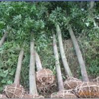 供应绿化苗木 乔木13-15公分 杜英