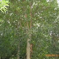 【各种规格】长期现货供应各种规格绿化工程树种 杜英