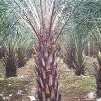 中东海枣、银海藻、绿化苗木