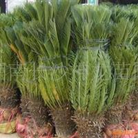 供应绿化苗木 灌木 铁树