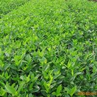 供应绿化苗木 灌木 小叶栀子