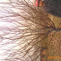 长期出售柿子树