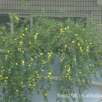 长期供应迎春花,及扦插小苗
