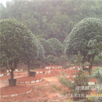 长期供应各种规格的八月桂  四季桂  丹桂  及小苗