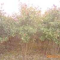 供应优质红叶石楠苗木以及种子