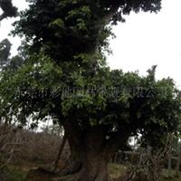 供应大树,古树,大榕树(图)