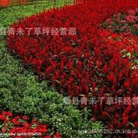 成都草花 鲜花 一串红