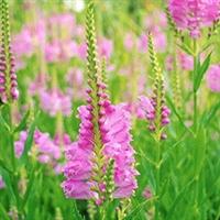 低价供应北方宿根植物,八宝景天,金鸡菊,千屈菜,假龙头等各种