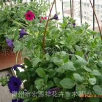 大量供应优质幸福草及应急草花