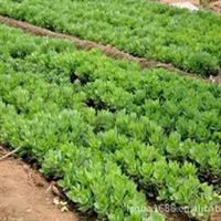 大量供应宿根花卉盆栽,地被,八宝景天,三七景天,福禄考,种苗