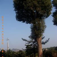 湖南长沙静缘苗圃低价供应;绿化,工程苗木;乔木,灌木,香樟树