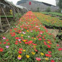 青州花卉。时令草花,太阳花,一串红,孔雀草,牵牛及绿化苗木