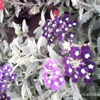 批发1.2年生草花美女樱,孔雀草,及各种地被宿根植物