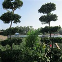 青州花卉,宏源祥花卉苗木基地供应冬青球,造型冬青