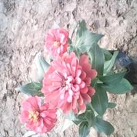 青州花卉,时令草花,百日红,天天开,美女樱,孔雀草,矮牵牛等
