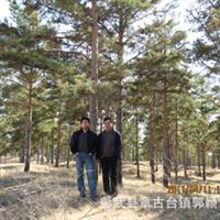 供应 苗木 绿化树 大树油松 4-6米