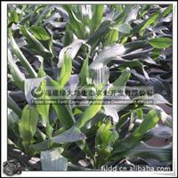 螺纹铁|热带常绿灌木|室内观叶植物|小盆栽|绿化苗木