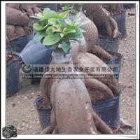绿化苗木 人参榕 观赏盆栽 高度20-30公分