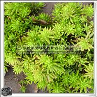 佛甲草|景天科植物|做屋顶绿化|草毯可卷铺