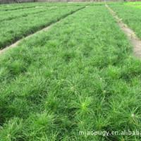 供应 苗木 绿化树 油松 樟子松.短叶松、短叶马尾松、东北黑