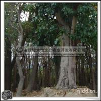 菩提树 Ficus religiosa Linn 无花果
