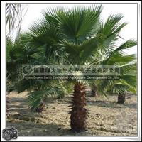行道树 风景树 棕榈科 丝葵 庭院观赏