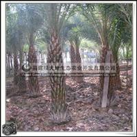 棕榈 棕榈科 中东海枣 公园绿化