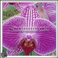 蝴蝶兰|兰科植物|袋苗