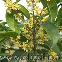 供应园林绿化优良树种 - 金桂(八月桂)