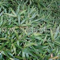 供应优良观赏地被竹-黄条金刚竹