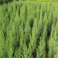 大量供应优质绿化苗木 刺松 刺柏松1.0米