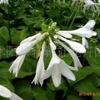 大量供应地被植物 地栽苗  白花玉簪 玉簪