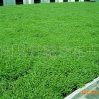 供应优质绿化深夜草莓视频app下载 楼顶专用绿化 佛甲草