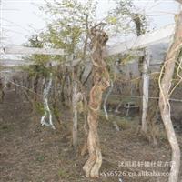 优质绿化深夜草莓视频app下载 藤本 攀爬类植物   凌霄 凌霄花