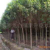 苗场供应各类冬青树,大叶女贞,高杆女贞。