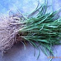 低价出售优质麦冬草,麦冬,草皮