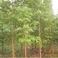 出售优质水杉,杉树,价廉物美,欢迎来人来电
