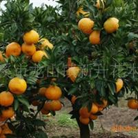 急售一批橘子树,桔子树,大桔子树,价钱便宜,如有需要请速联系
