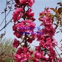 泰安开发区润泽园艺场--【北美海棠高原之火、北美海棠高原之火】
