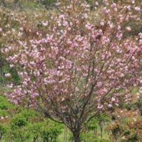 出售速生樱花,冠幅园转,无偏冠