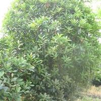 供应老品种石楠规格齐全,价格优惠,树形漂亮