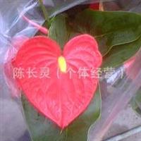 供应:中国花卉 福建花卉 室内不雅观花植物 【红掌】