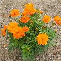 硫华菊种子硫华菊,波斯菊种子