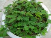 出售含羞草 种子-感应草 批发种子 香草种子 出芽率高