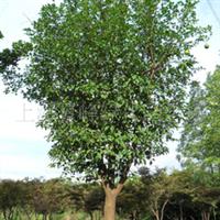 供应各种规格柚子树、香泡树、文旦树、桔子树