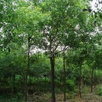 供应各种规格大叶女贞、重阳木、无患子、黄连木、喜树