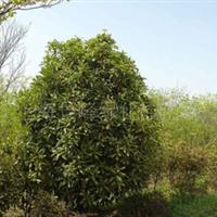 供应各种规格绿化苗木、苗木、香樟树、乔木、灌木、草