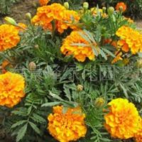 供应草花花卉、草花、草花植物、草花盆景