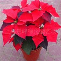 供应一品红、一串红、荷花、百合花、牡丹花、月季、品种月季